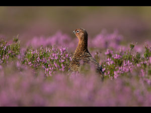 Female Red Grouse in Heather by Ed Roper
