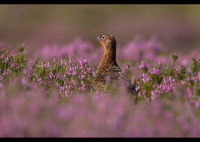 Female Red Grouse in heather