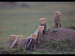 Kenya Cheetah Cubs by Austin Thomas