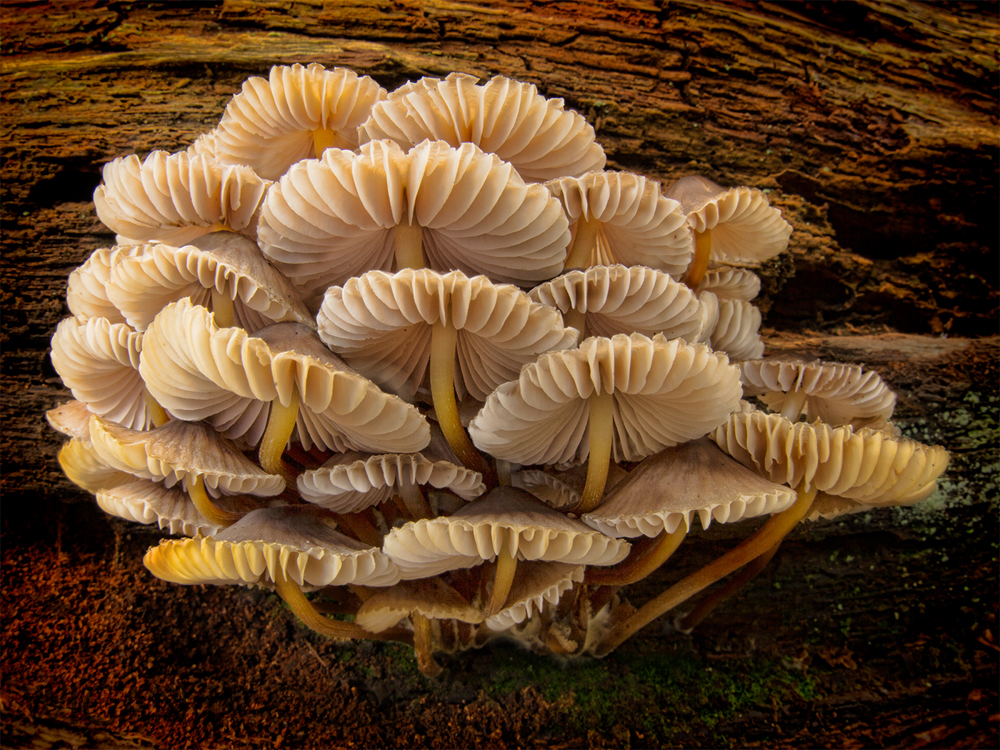 Cluster of Mycena Inclinata by Robert Millin