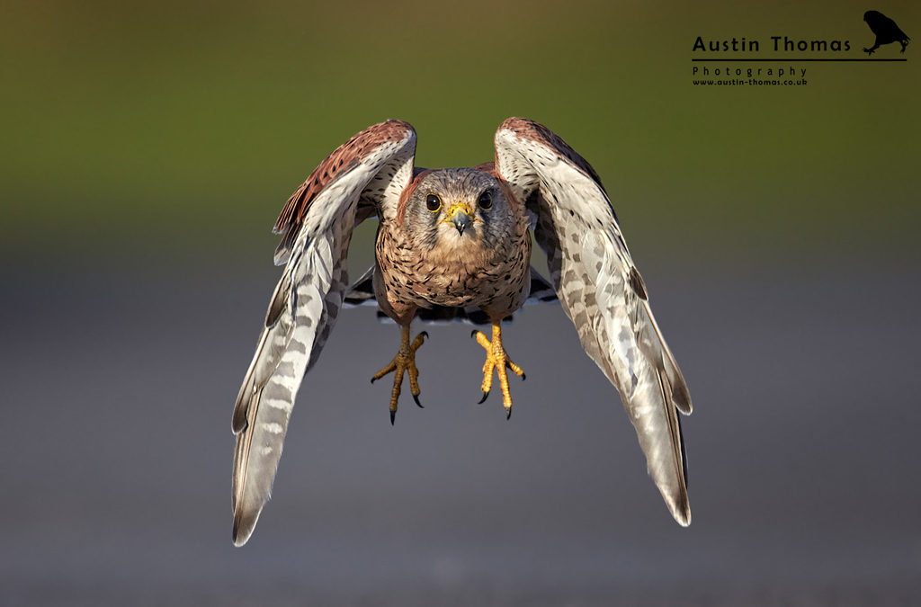 Male Kestrel flying at the camera by Austin Thomas
