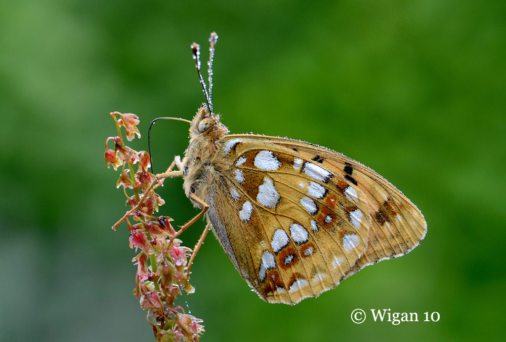 High Brown Fritillary by Chris Hague