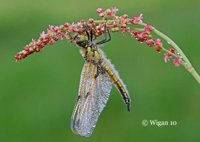 Four spotted chaser 2-15