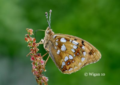 High Brown Fritillary 17-1