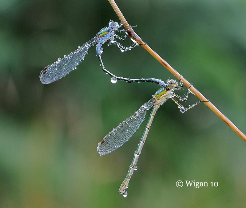 Lestes Sponsa by Chris Hague