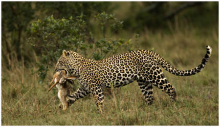 Leopard and Prey
