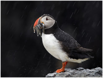 Puffin In The Rain