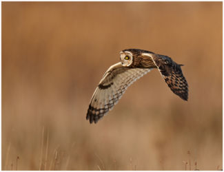 Short Eared Owl Hunting