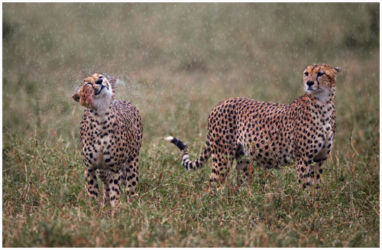 Soaking Wet Cheetahs