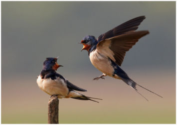 Swallows Shouting