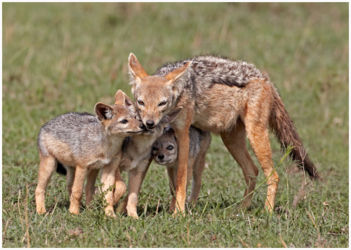 The Jackal Family
