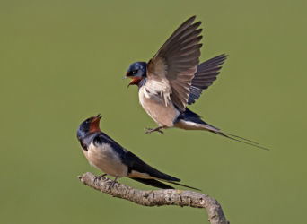 Austin - Swallows Interacting