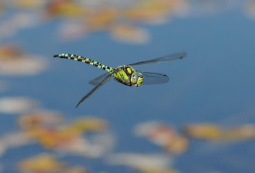 Chris - Southern Hawker