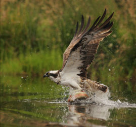 Jo - Osprey with Trout
