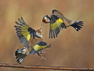 Roy - Goldfinches