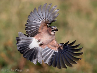 Jay by Roy Rimmer