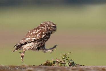 Little Owl Jumping by Austin Thomas