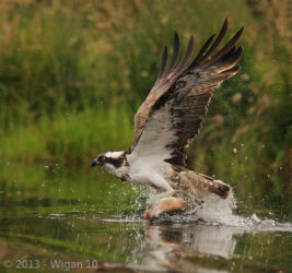Osprey with Trout by Jo McIntyre