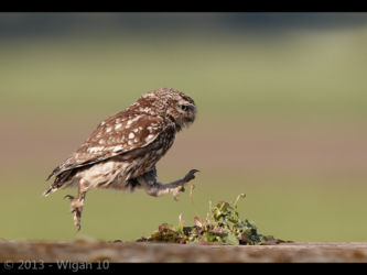 Little Owl Leaping