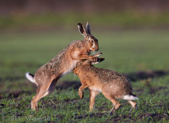 Boxing Hares by Austin