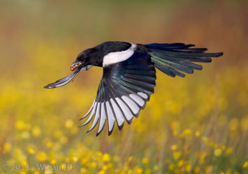 Magpie in Flight by Austin