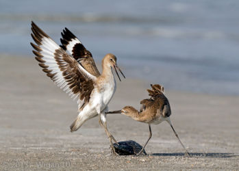 Willet Dispute by Geoff