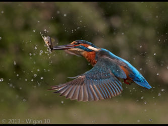 Kingfisher with Fish by Austin Thomas