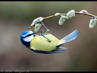 Blue Tit Looking for Food by John Jerstice