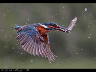 Kingfisher In Flight with Fish by Austin Thomas