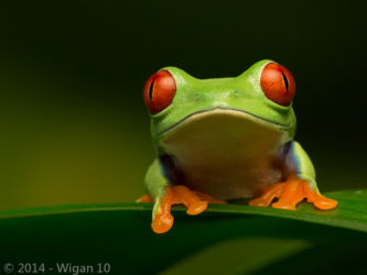 Red Eyed Green Tree Frog by Robert Millin by Robert Millin