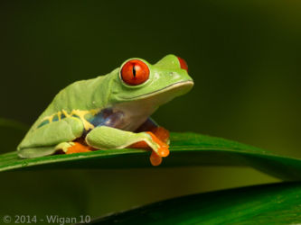 Red Eyed Green Tree Frog on Leaf