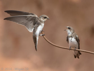Sand Martin Pair by Roy Rimmer