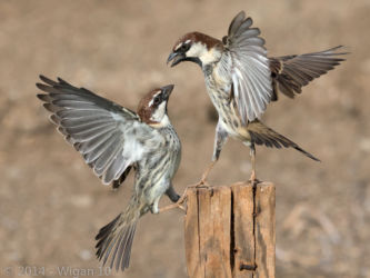 Sparrows by Roy Rimmer