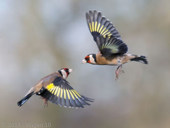 Squabbling Goldfinches by Roy Rimmer