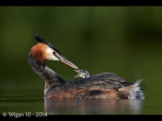 Great Crested Grebe and Chick by Austin Thomas