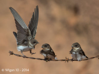 Young Sandmartins by Roy Rimmer