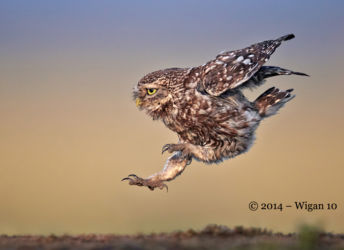 Little Owl landing by Austin Thomas