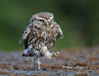 Little Owl running by Austin Thomas