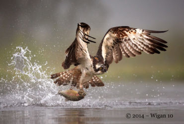 Osprey Fishing in the mist by Austin Thomas