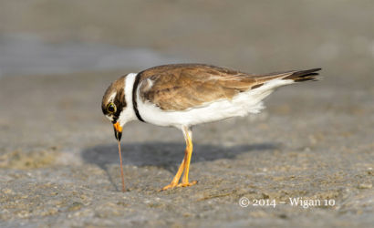 Semi Palmated Plover with worm by Geoff Walsh