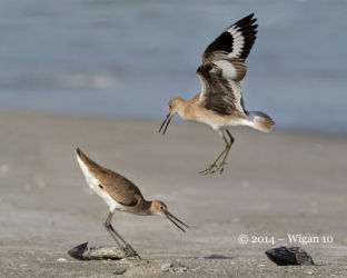 Territorial Willets by Geoff Walsh