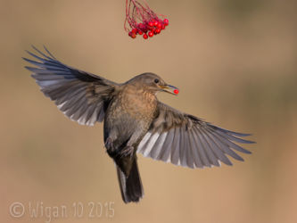 Blackbird with Berry by Roy Rimmer