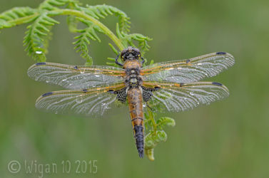 Four Spotted Chaser by Chris Hague