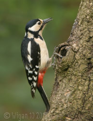 Great Spotted Woodpecker Female by Christine Widdall