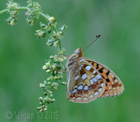 High Brown Fritillary 14-1 by Chris Hague