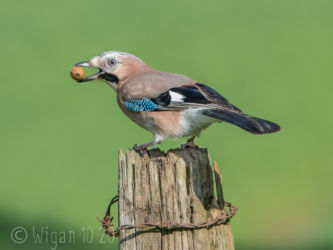 Jay with Acorn by Phil Barber