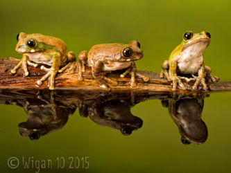 Peacock Tree Frogs by Robert Millin