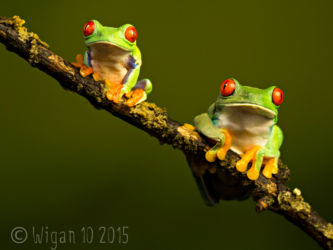 Red Eyed Green Tree Frogs by Robert Millin