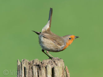 Robin Displaying by Phil Barber