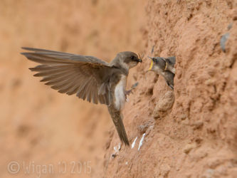 Sandmartin Feeding Young by Roy Rimmer